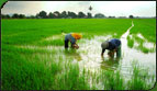 Two women in paddy fields